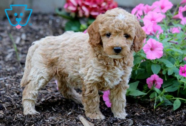 May Toy Goldendoodle2