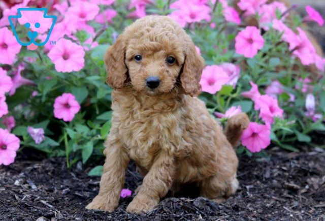Morty Toy Goldendoodle2