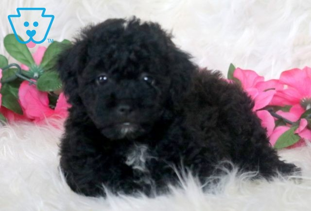 Musketeers Poodle Mix 1-001