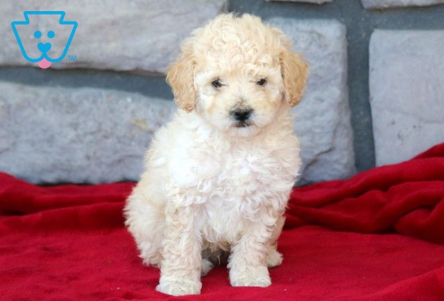 Robby Toy Poodle 1-001