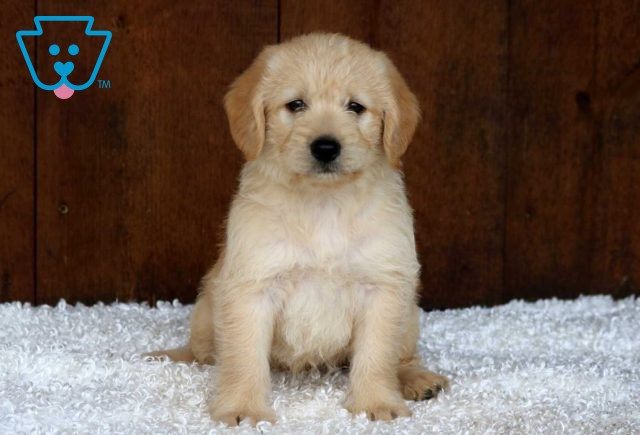 Snickers Mini Labradoodle