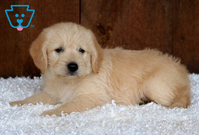 Snickers Mini Labradoodle2