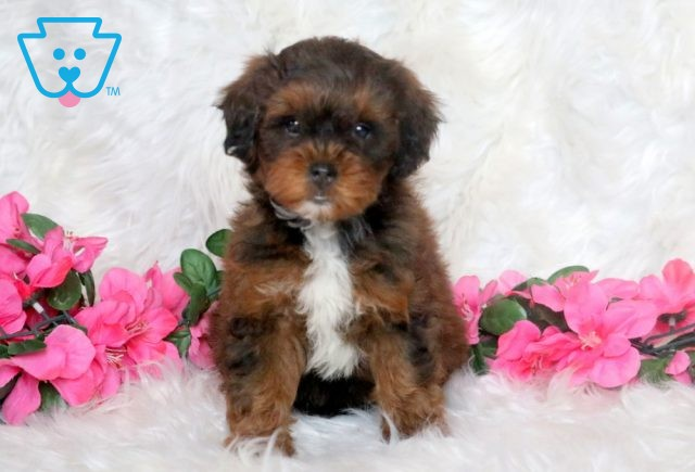 Snickers Poodle Mix 1-001