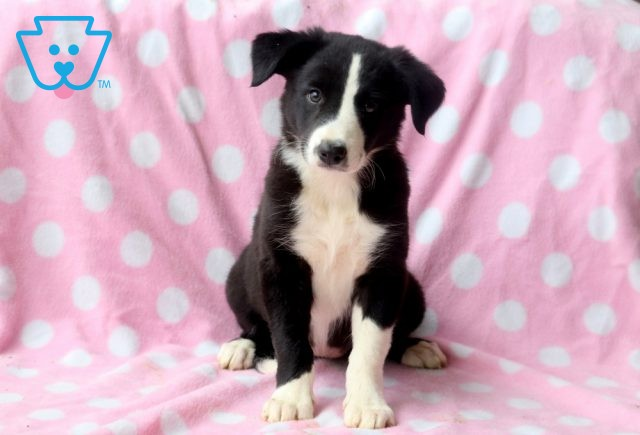 Tracy Border Collie 1-001