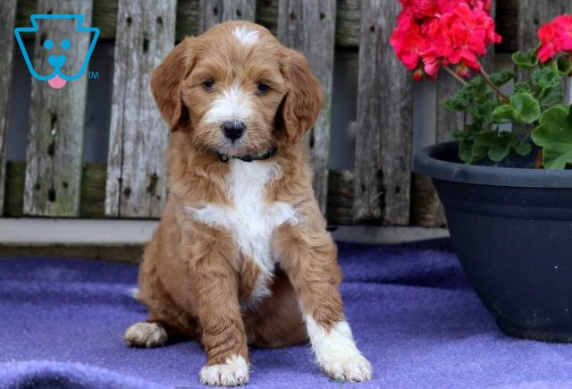 Tracy Goldendoodle