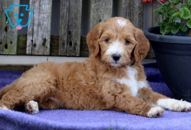 Tracy Goldendoodle2