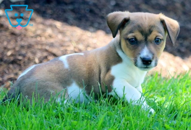 Wes Jack Russell 1-001