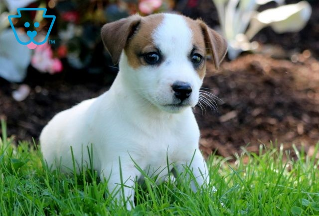 Willy Jack Russell 1-001