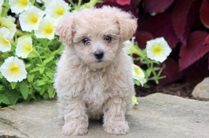 Curly teddy bear dog