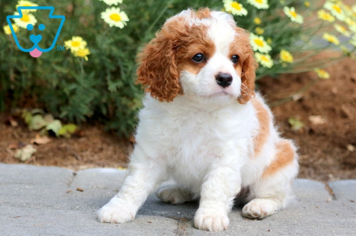 White and blonde cavapoo puppy
