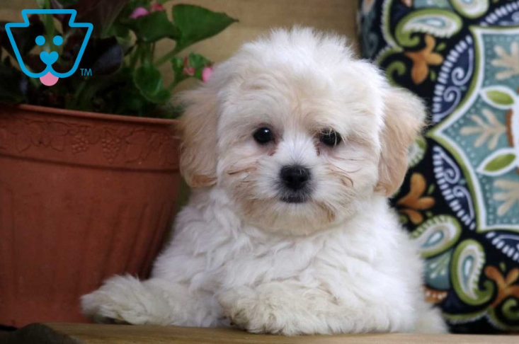 Tan and white teddy bear puppy breed