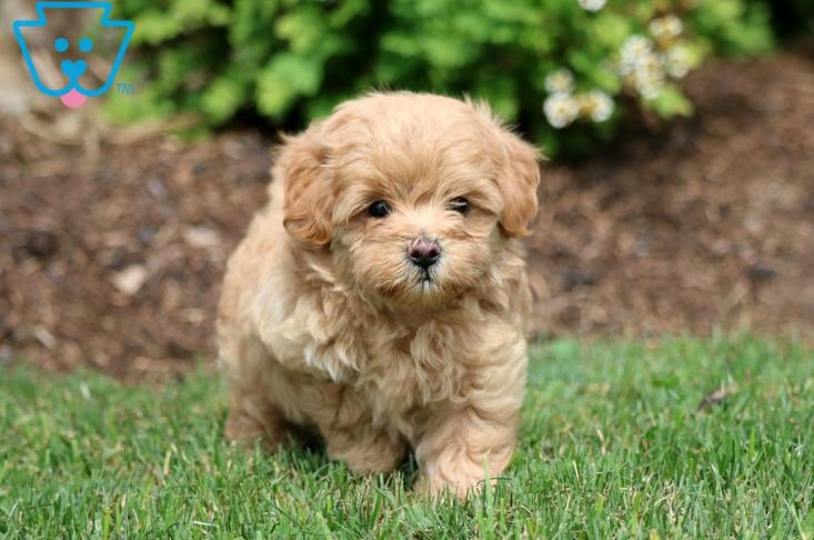 Fluffy golden puppy in grass