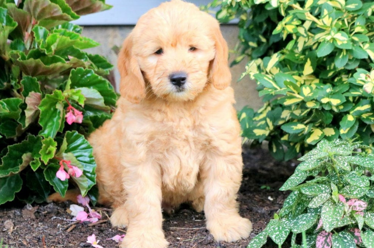 Goldendoodle teddy bear puppy