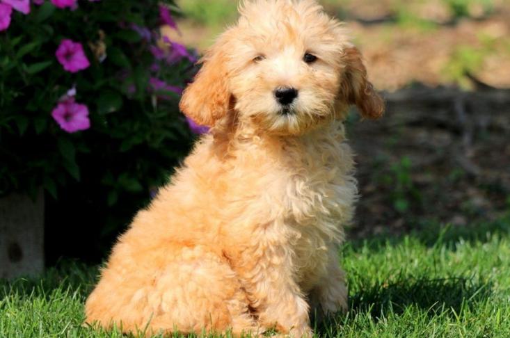 Mini teddy bear dog breeds