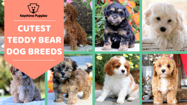 Teddy Bear Dog Breeds for Cuteness and Cuddles