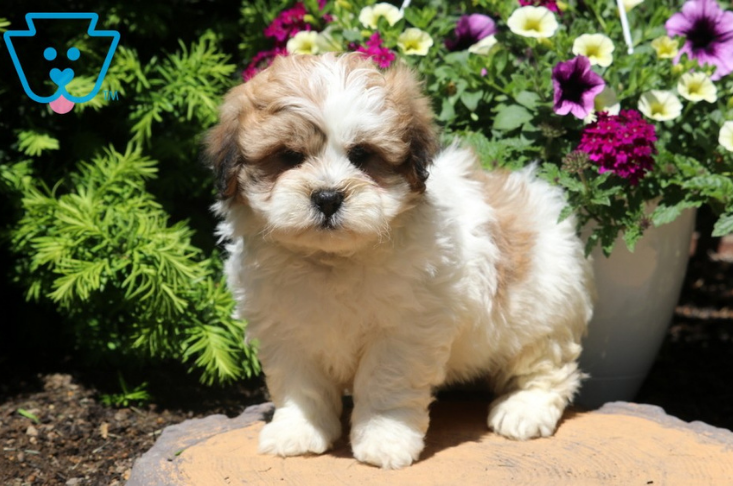 Fluffy Shichon puppy with white and tan