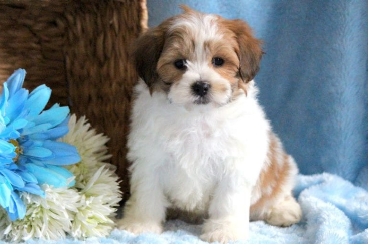 Brown and white teddy bear puppy