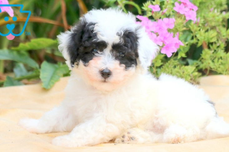 Small black and white teddy bear puppy
