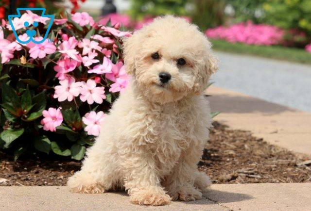Andy Mini Poodle 1-001