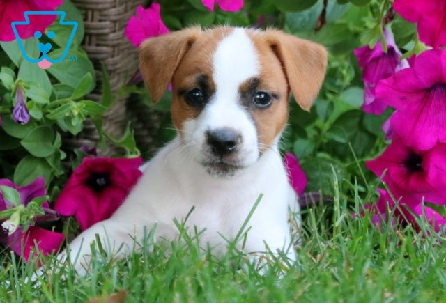 Betsy Jack Russell 1-001