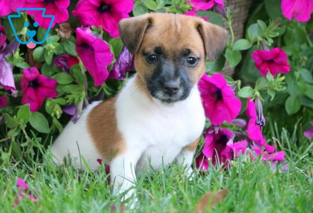 Bonnie Jack Russell 1-001