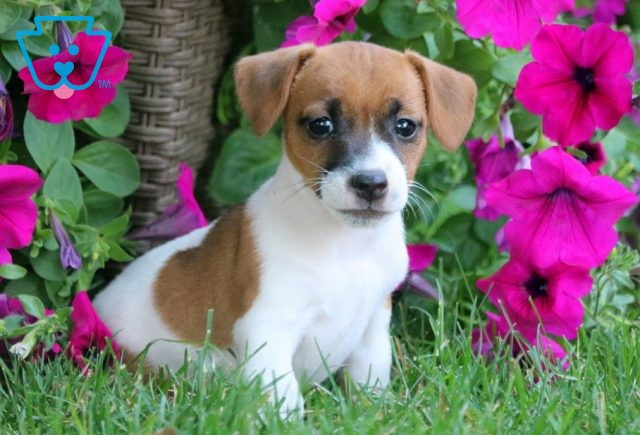 Brittnay Jack Russell 1-001