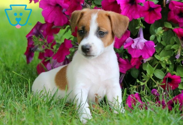 Bubbles Jack Russell 1-001