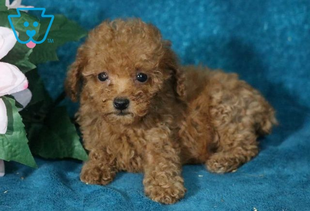 Candy Toy Poodle