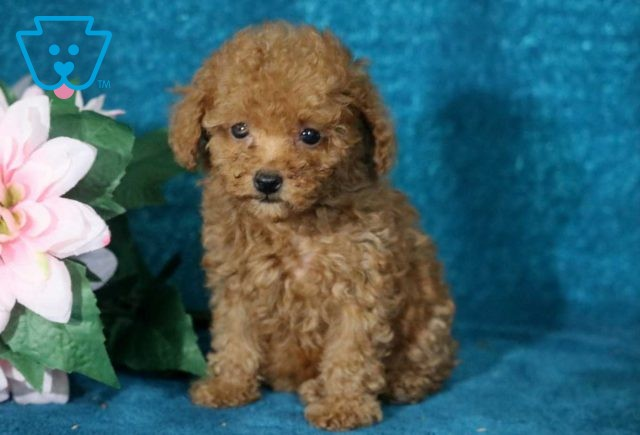 Candy Toy Poodle3