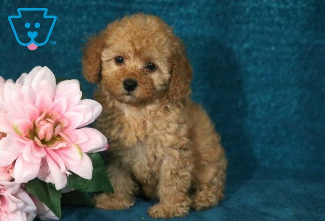 Cookie Toy Poodle