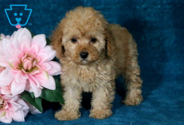 Cookie Toy Poodle2