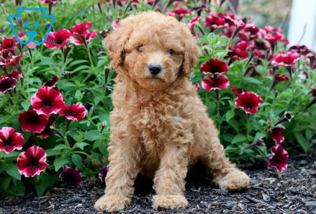 Furby Goldendoodle 1-001