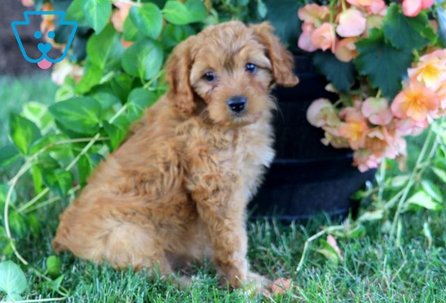 Isabell Cavapoo 1-001