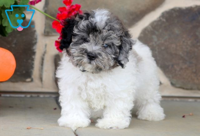 Isby Shihpoo 1-001