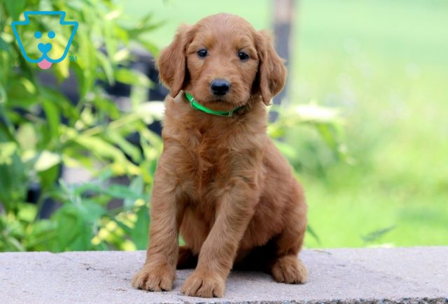 Lexy Goldendoodle 1-001