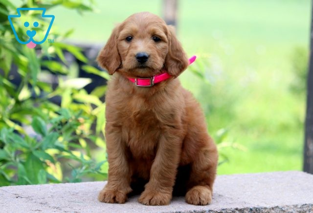 Lizzy Goldendoodle 1-001