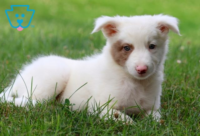 Mable Border Collie Mix 1-001