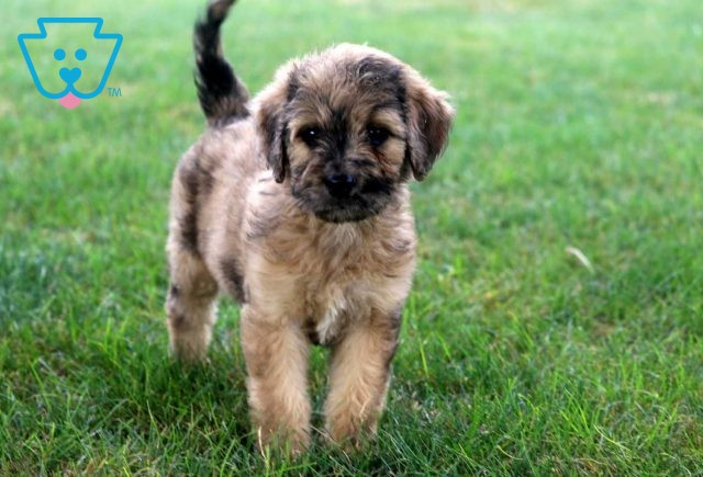 Maxy Goldendoodle2