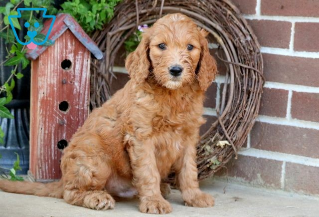 Nappy Goldendoodle 1-001