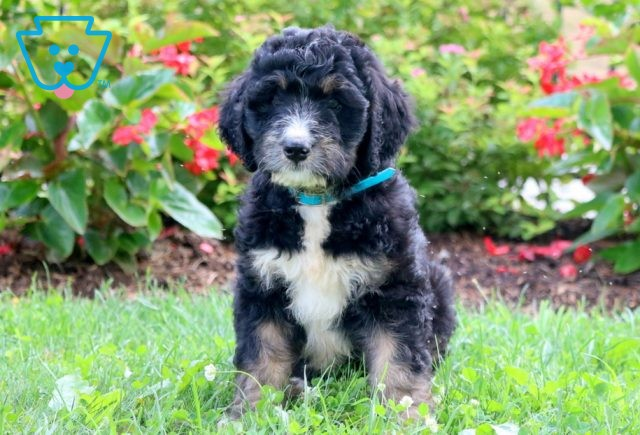 Paws Bernedoodle 1-001