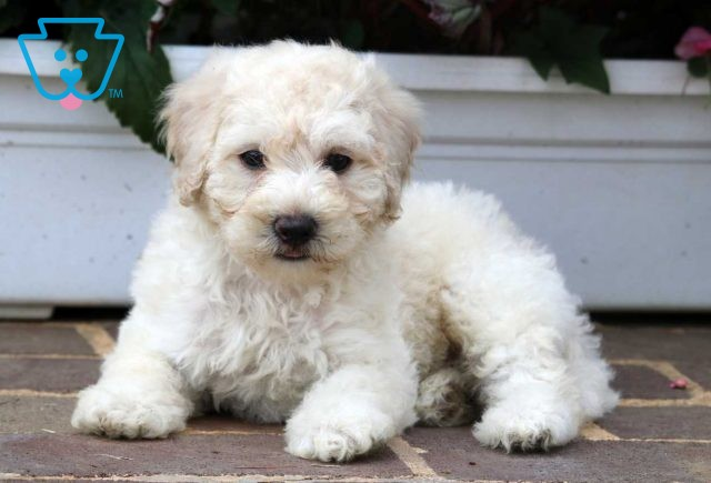 Paws Lhasapoo