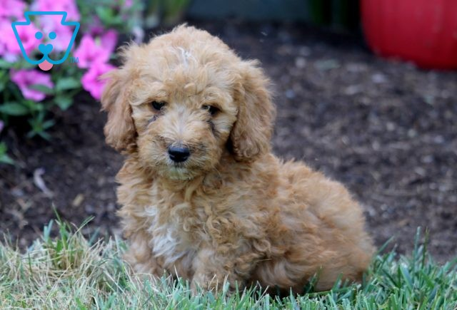 Perry Mini Bernedoodle 1-001