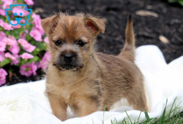 Pojey Cairn Terrier