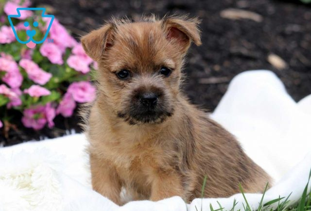 Pojey Cairn Terrier2