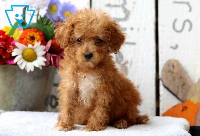 Puddle Toy Poodle Retake2