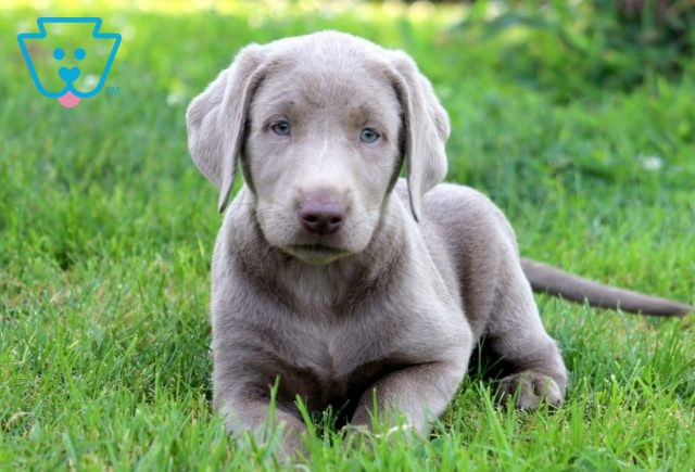 Scout Silver Lab 1-001