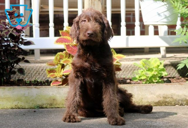 Shooter Labradoodle
