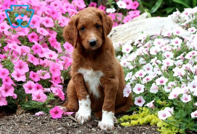 Baby Goldendoodle