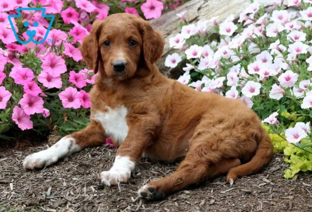 Baby Goldendoodle2