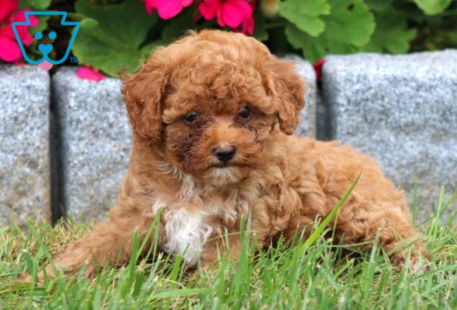 Baby Toy Poodle2